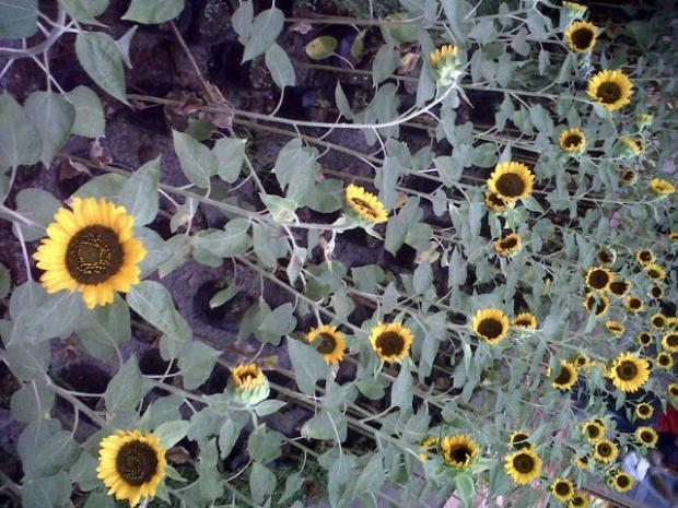 sunflower fields prepared at the center of Paris Van Java Mall, Bandung :D